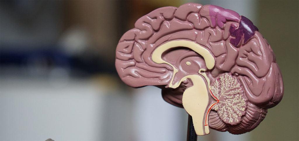 Hersenen (foto: Robina Weermeijer via Unsplash)